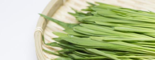 青汁の原材料「大麦若葉」