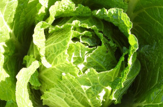 白菜の栄養とは